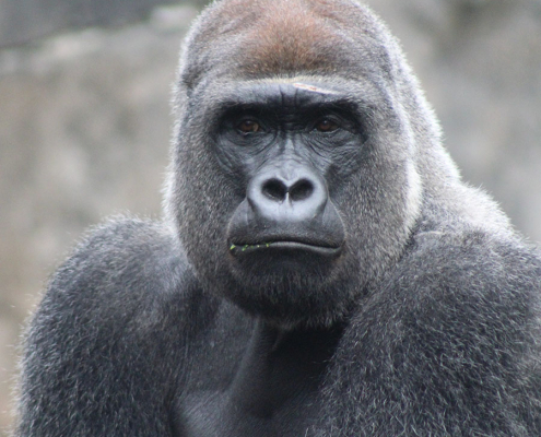 photo de face d'un gorille